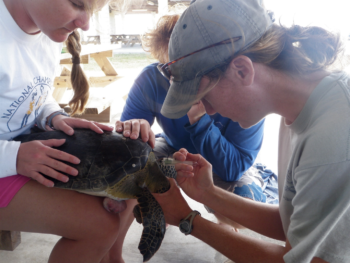 Photo: Alli drawing blood from a juvenile green sea turtle. Green sea turtles also nest on the Florida coast and have seen a tremendous increase in numbers over the last 30 years.