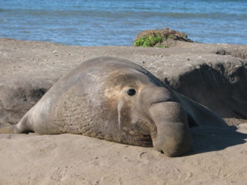 Elephant seal (Credit: Sarah Peterson, USGS Western Ecological Research Center. Photo in the public domain.)