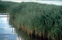 A clump of Spartina alterniflora, a common wetland grass in the Chesapeake Bay.